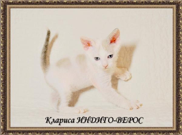 Клариса ИНДИГО-ВЕРОС