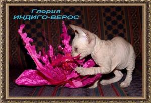 Глория ИНДИГО-ВЕРОС