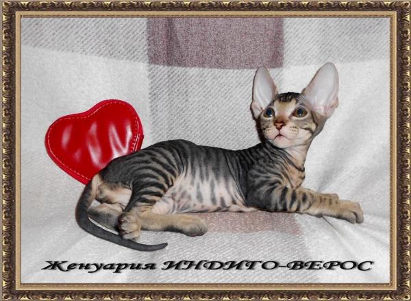 Женуария ИНДИГО-ВЕРОС